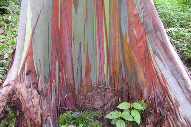 El árbol gomero arcoris tiene una corteza de colores muy vivos.
