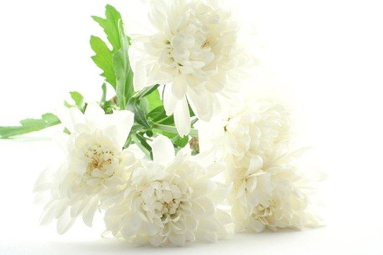 Poner un clavel blanco en agua coloreada demuestra la acción de capilaridad en las plantas.