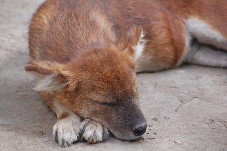 Los perros con sarna requieren un tratamiento rápido y específico.