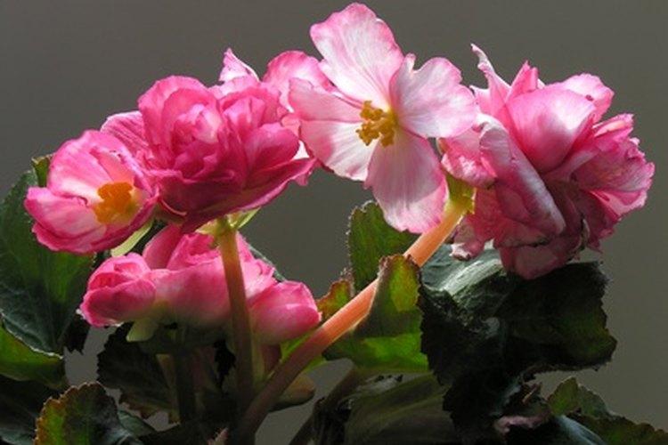 La mayoría de las begonias no pueden sobrevivir bajo luz directa del sol, pero un tipo es especialmente experto en soportar el sol caliente.
