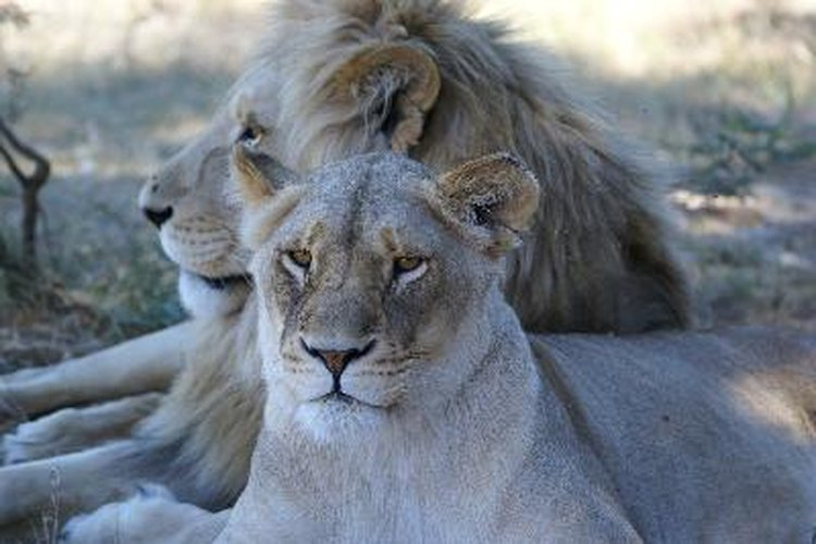 Pareja de leones.