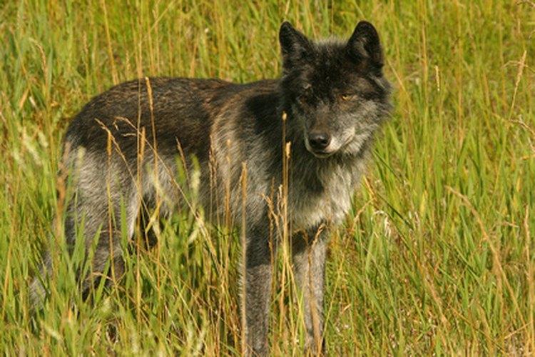 El lobo deja la huella más grande de todos los caninos.