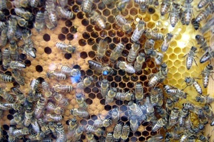 Enjambre de abejas con su reina.