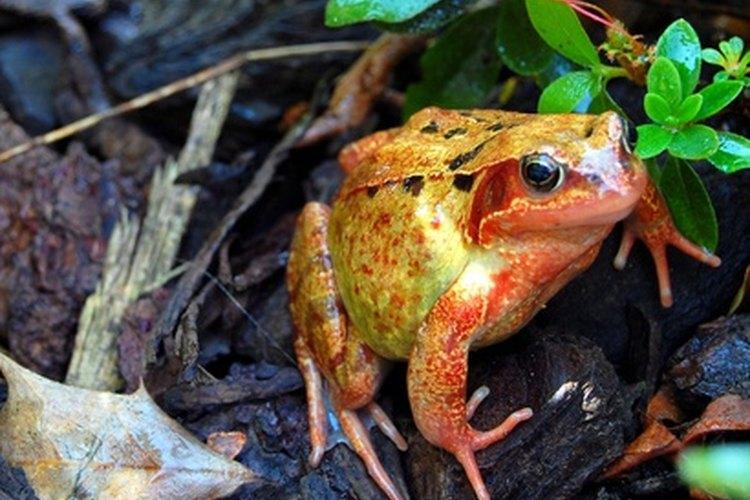 Descubre el fascinante mundo de las ranas y los sapos.