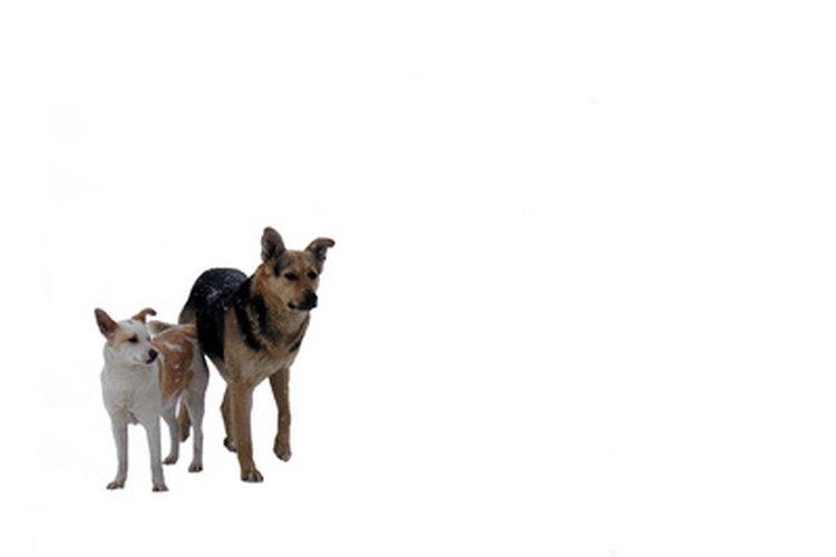 El Centro de Información del perro establece que los cachorros husky generalmente son perros de alta energía que pueden aburrirse fácilmente.