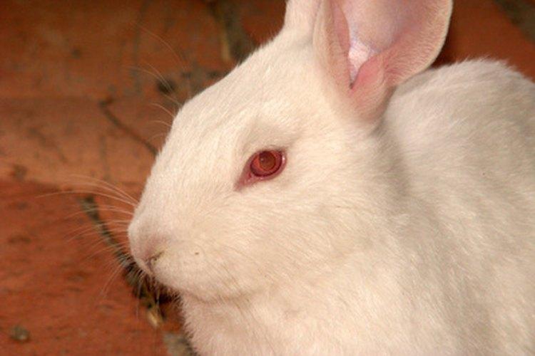 Puede ser difícil distinguir las diferentes tipos de conejos blancos.