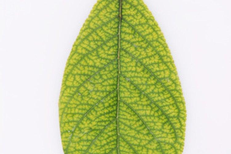 Las hojas pinnadas tienen venas simétricas.