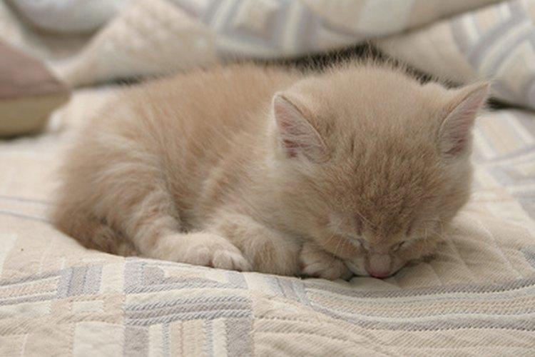 Los gatitos prematuros requieren cuidados adicionales.