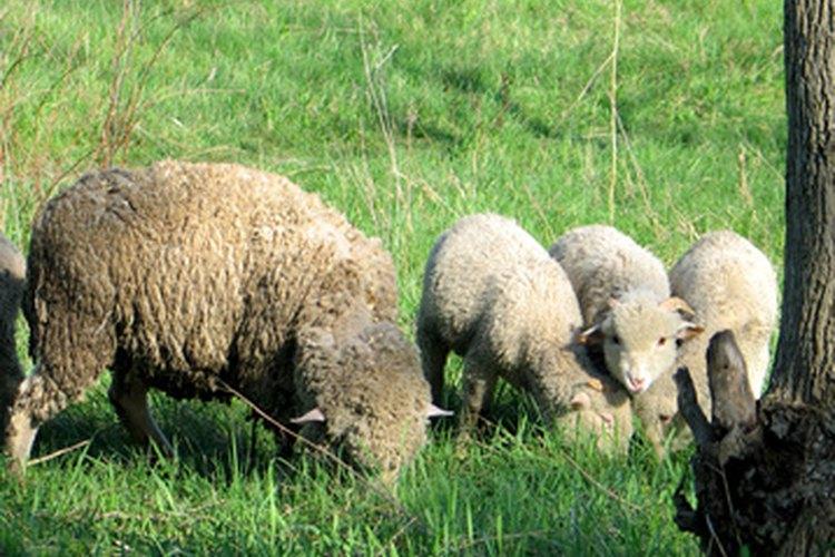 La lanolina anhidra está hecha de lana de oveja por varios fines.