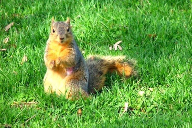 Las ardillas comunes disfrutan de las semillas de pipas de girasol.