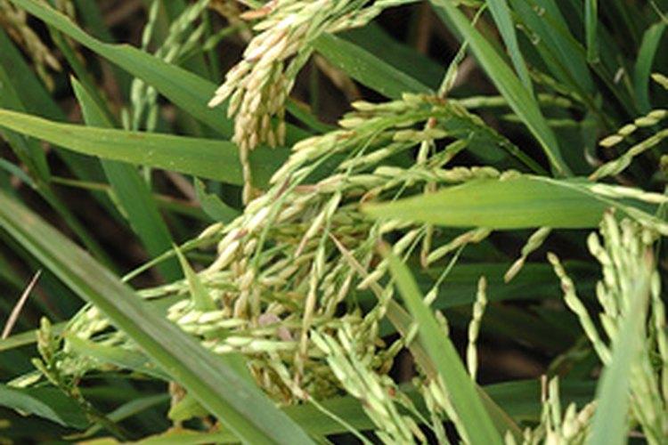 Hojas, panojas y tallos de plantas de arroz.
