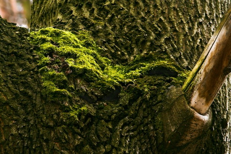 Musgo de árbol.