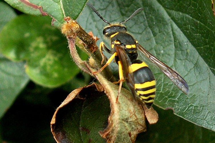 Puedes elaborar una trampa casera para eliminar el exceso de avispas y abejas.