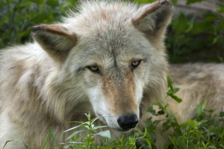 """A los solitarios se los llama """"lobos solitarios""""."""