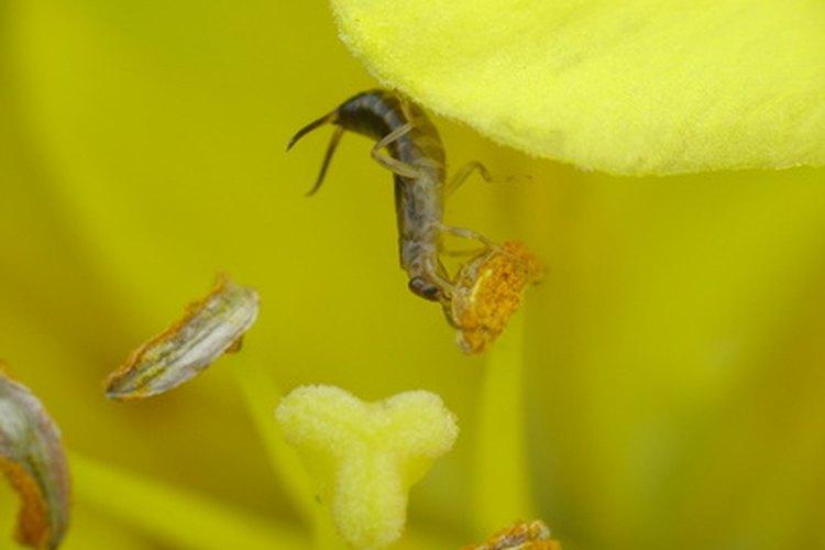 Las tijeretas se alimentan tanto de insectos como de las flores.