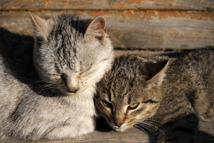 Si se acumula mucho pelo en los intestinos del gato, puede provocarle constipación, un bloqueo o la muerte.
