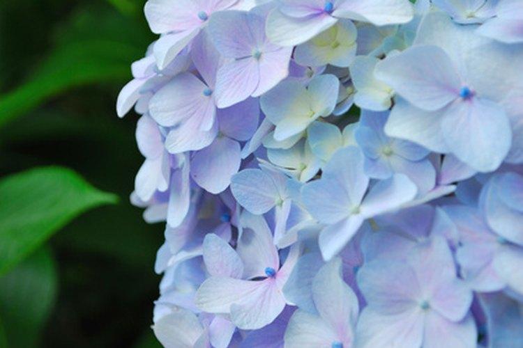 Las grandes flores de las hortensias son sensibles al pH del suelo.