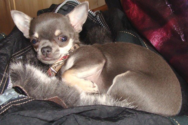 Los chihuahuas son una de las razas de perro más sanas.