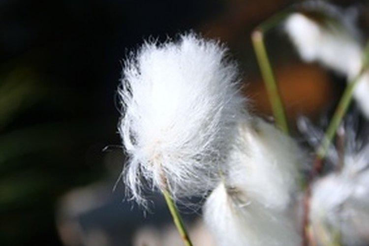 El algodón es naturalmente inflamable hasta que se trata químicamente para resistencia al fuego.