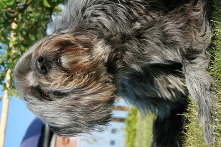 Los perros pueden tener picazón a causa de pulgas.
