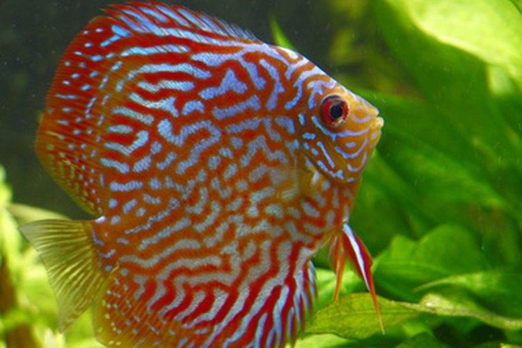 A veces es difícil diferenciar a un pez disco macho de una hembra.