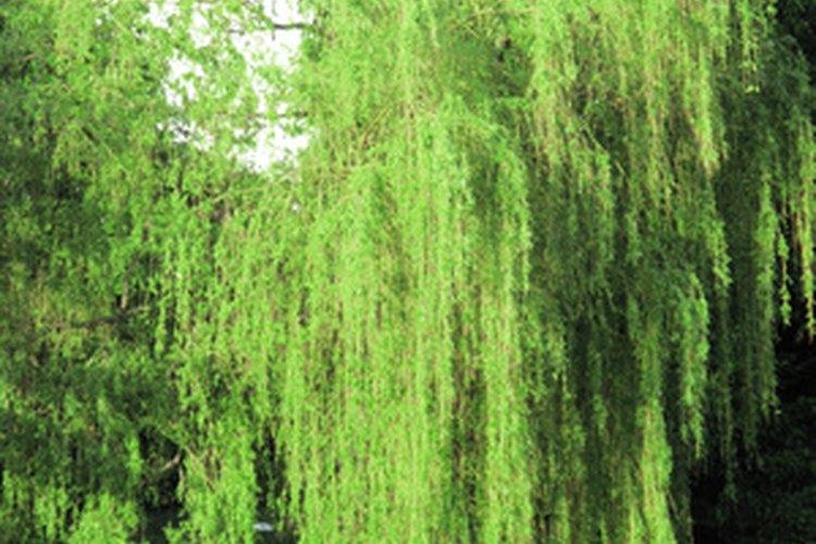 Los sauces llorones son elegantes árboles de sombra de rápido crecimiento.
