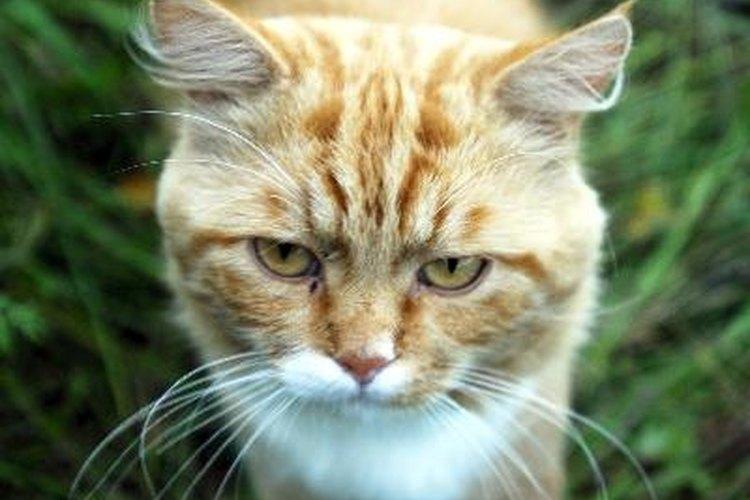 Un gato macho completamente maduro anunciará su estado de apareamiento marcando con orina.