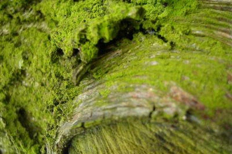 Algas para cabellos deshidratados
