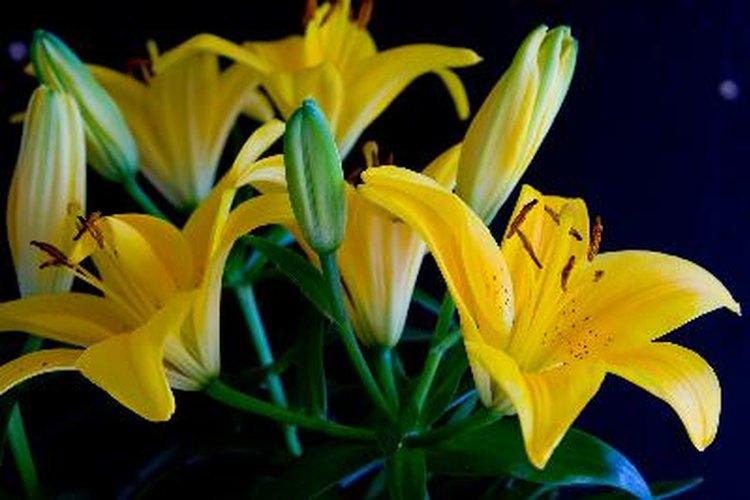 Existen varios cultivares de liliums asiáticos que son de diferentes colores.