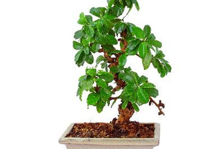 Las plantas de Jade se venden en forma de bonsái.