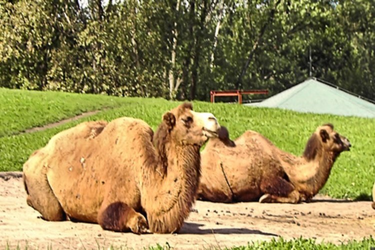 Las jorobas del camello tienen depósitos de grasa.