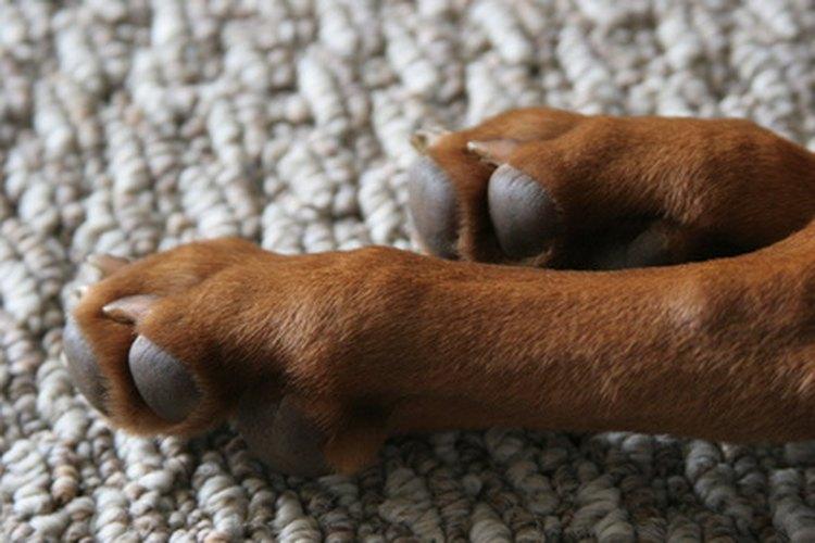 Remedios caseros para la comezón en las patas de los perros.