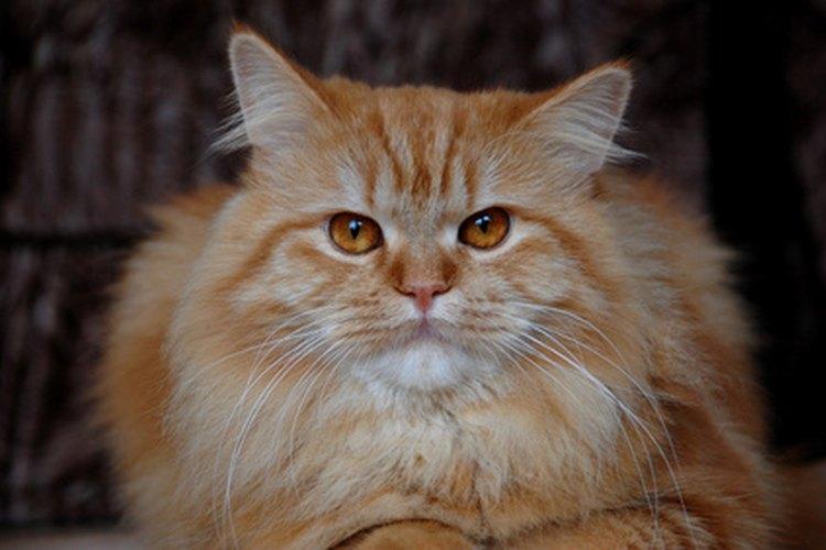 Al bañar a tu gato con champú lo librarás de los malos olores.