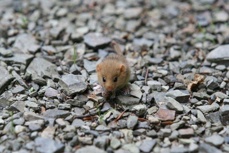 Hay un números de razones por las que los repelentes ultrasónicos afectan a los ratones.