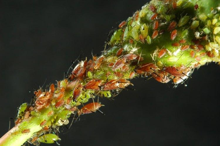 Los parásitos intestinales suelen invadir el intestino grueso cuando tienes un crecimiento excesivo de candida albicans.