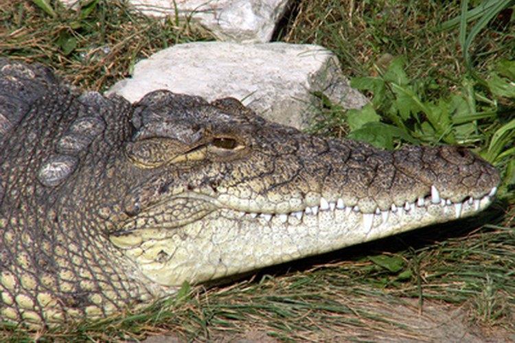 Los cocodrilos pueden pasar mucho tiempo entre las comidas.