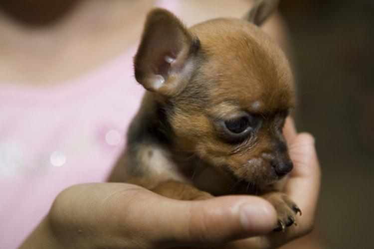 Los chihuahua pequeños están en riesgo de contraer un número de problemas de salud.
