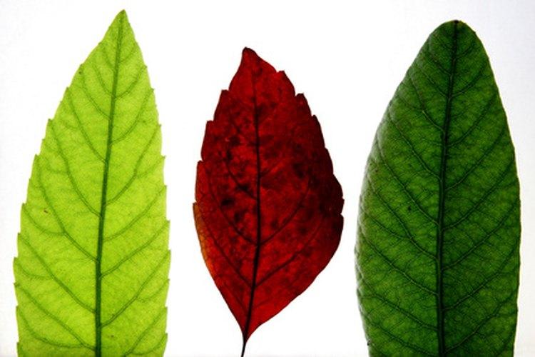Muéstrale a los estudiantes cómo las hojas varían en tamaño, color y textura.