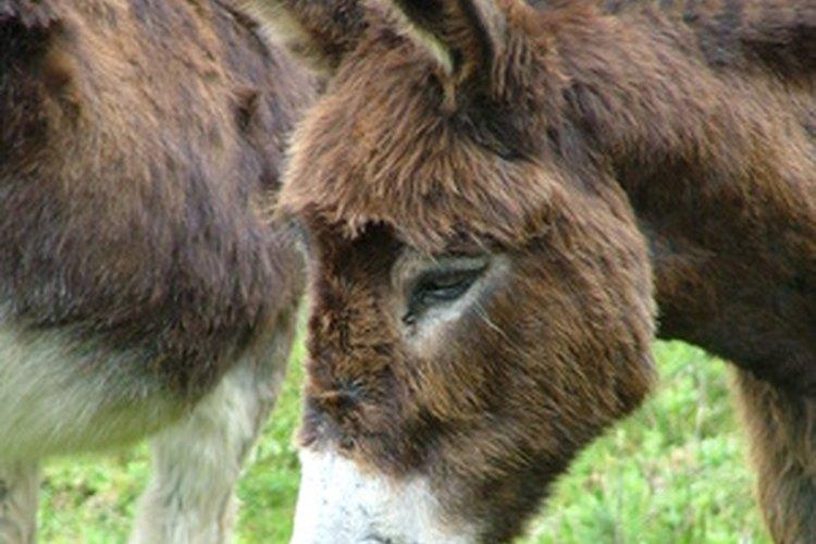 Una mula y un burro tienen muchas diferencias.