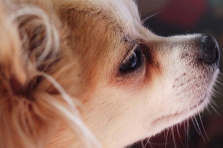 Tu Chihuahua puede necesitar asistencia durante el parto.