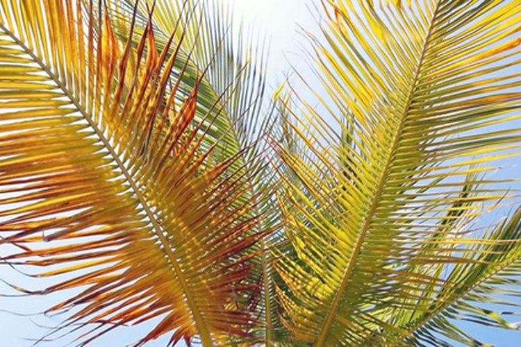 La coloración amarillenta de las hojas puede ser un síntoma de enfermedad grave de la palma.