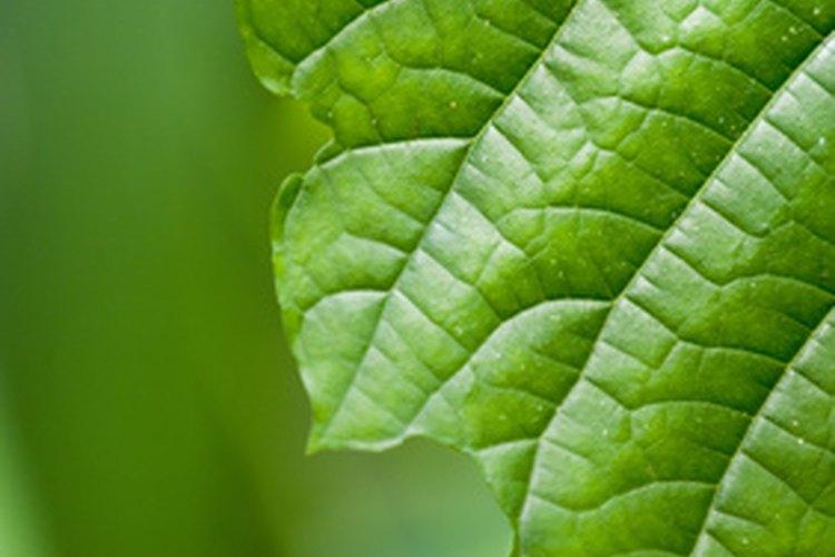 Las plantas verdes contienen clorofila y esto les ayuda a hacer alimentos.