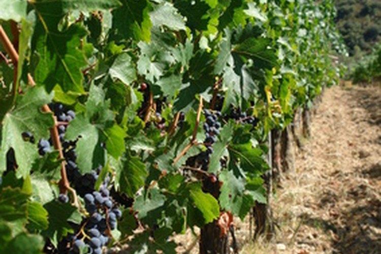 Controla las hojas y las uvas actuales de tu viñedo.