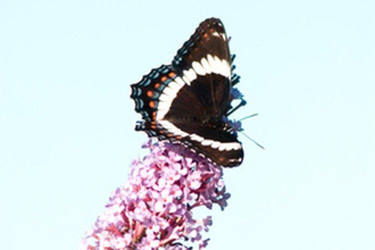 Mariposa sobre arbusto de mariposas.