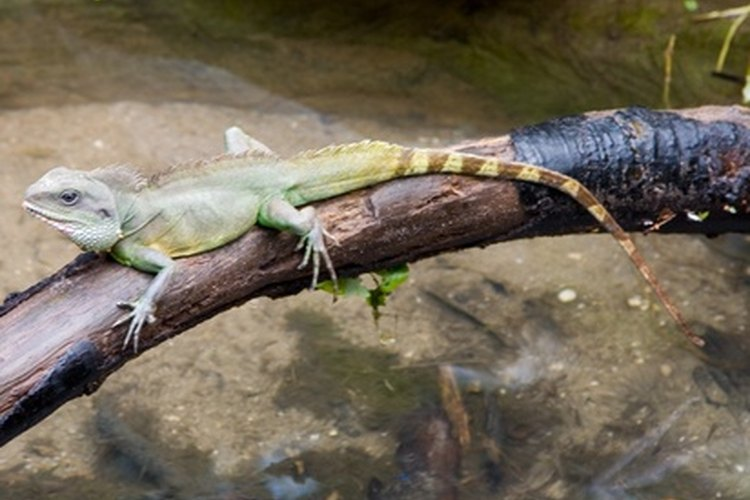 El reptil utiliza el sol para elevar su temperatura corporal