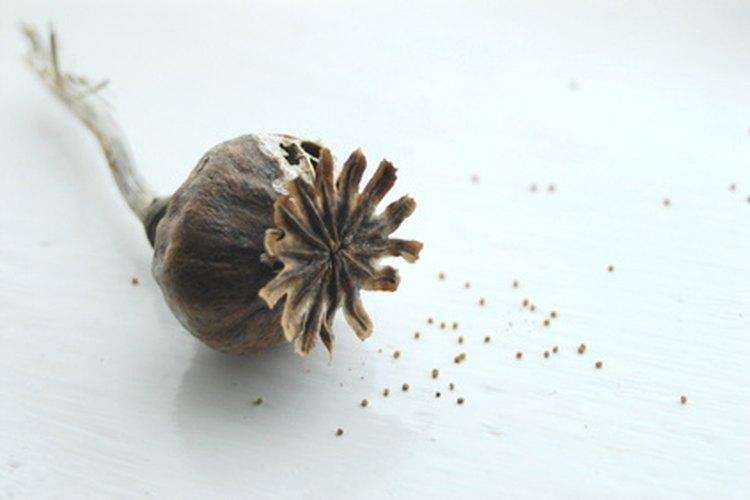 Guarda las vainas de las semillas para plantar en tu jardín.