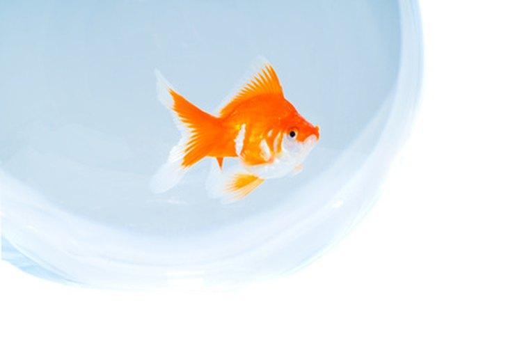 Mantén a tus peces cómodos en la pecera para que tengan una vida más larga.