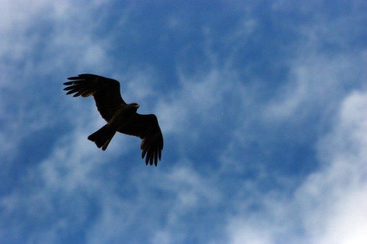 Ave de presa volando en las alturas.