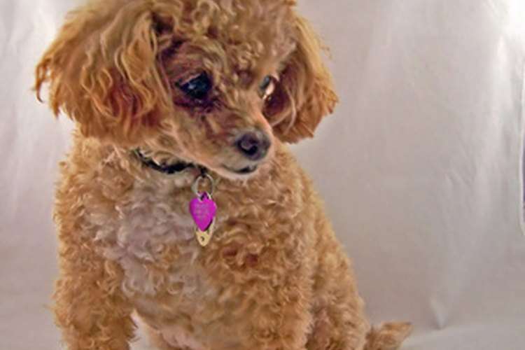 La epilepsia es una condición común en Poodles miniatura.