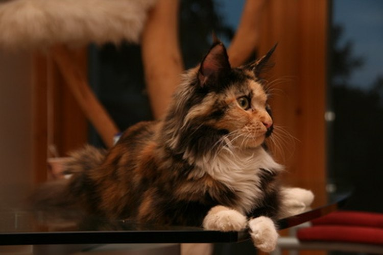 ¿Cuál es el costo de un gato Maine Coon?